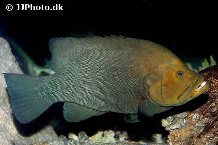 Redmouth grouper (Aethaloperca rogaa)