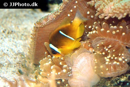 Two Banded Clownfish (Amphiprion bicinctus)