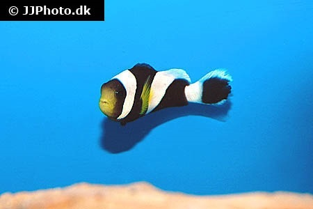 Mauritian anemonefish (Amphiprion chrysogaster)