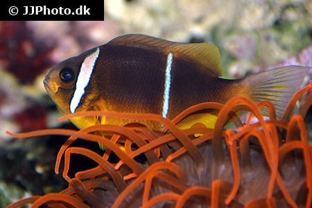 Oman anemonefish (Amphiprion omanensis)