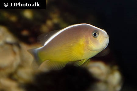 Yellow clownfish (Amphiprion sandaracinos)