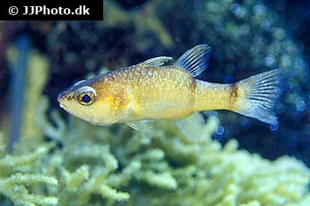 Barred cardinalfish (Apogon binotatus)