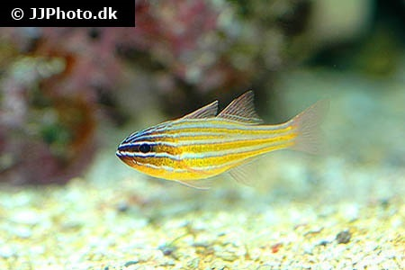 Yellowstriped Cardinalfish (Ostorhinchus cyanosoma)