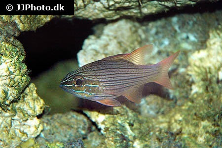 Many-lined cardinalfish (Ostorhinchus multilineatus)