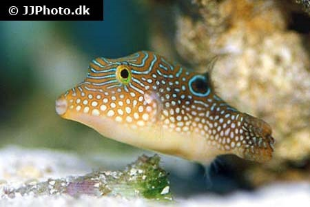 Pufferfishes (Tetraodontidae)