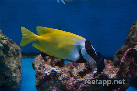 Rabbitfishes (Siganidae)