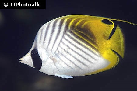 Threadfin butterflyfish (Chaetodon auriga)