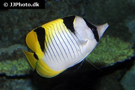 Blackwedged butterflyfish (Chaetodon falcula)