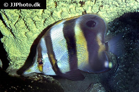 Blackfin coralfish (Chelmon muelleri)