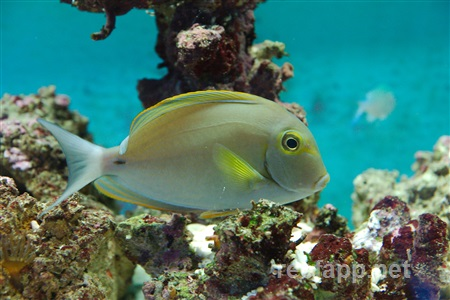 Ring Tail Surgeonfish (Acanthurus blochii)