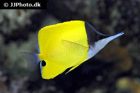 Longnose butterfly fish (Forcipiger flavissimus)