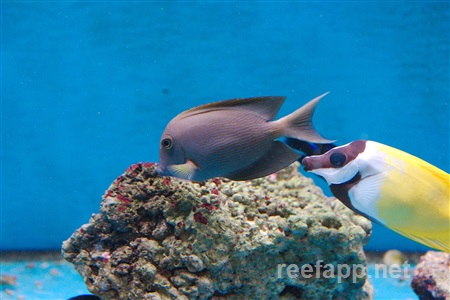 Orange Stripe Bristletooth Tang (Ctenochaetus striatus)