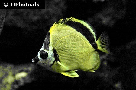 Blacknosed butterflyfish (Johnrandallia nigrirostris)