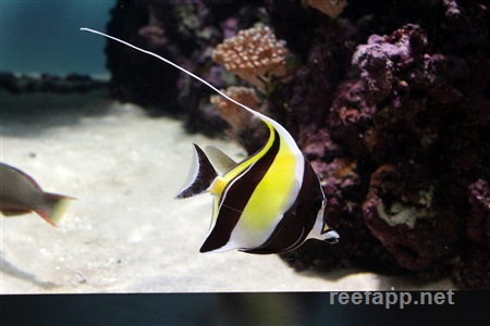 Moorish idol (Zanclidae)
