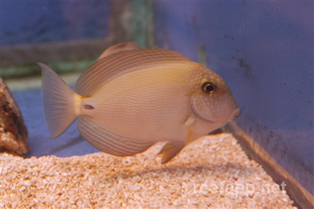 (Acanthurus maculiceps)