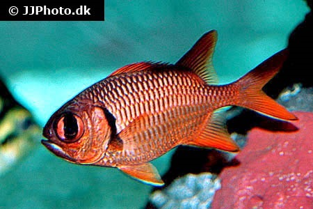 Squirrel-/soldierfish (Holocentridae)