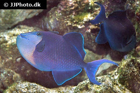 Queen Triggerfish Teeth Triggerfishes (...