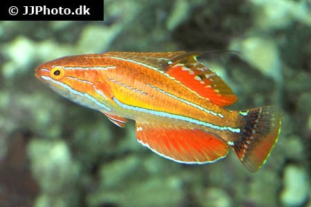 Wrasses (Labridae)