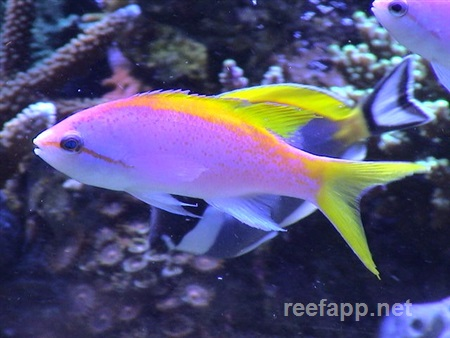 Yellowback anthias (Pseudanthias evansi)