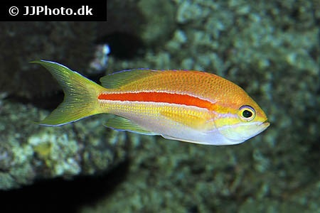 One-stripe anthias (Pseudanthias fasciatus)