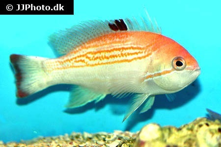 Yellowlined anthias (Pseudanthias luzonensis)