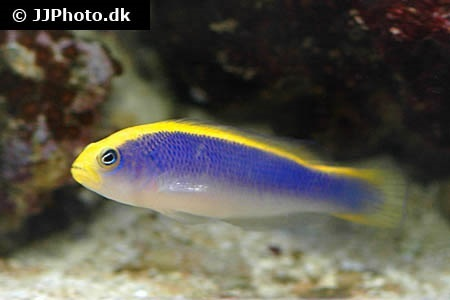 Sunrise Dottyback (Pseudochromis flavivertex)