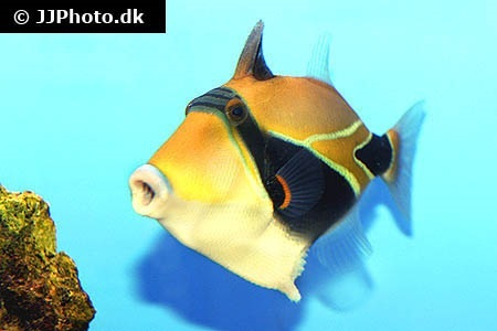 Wedge-tail triggerfish (Rhinecanthus rectangulus)