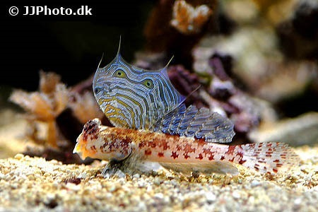 Starry dragonet (Synchiropus stellatus)