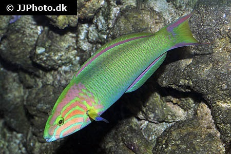 Yellow-brown wrasse (Thalassoma lutescens)