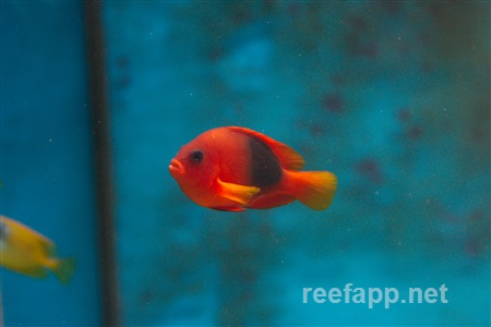 Red Saddle Clownfish (Amphiprion ephippium)