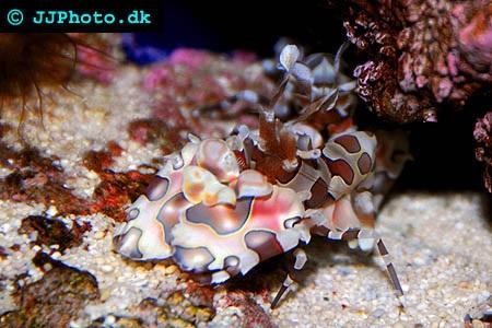 Garnelen (Alpheoidea) im Aquarium