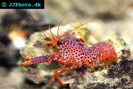 Reef lobsters (Enoplometopidae)