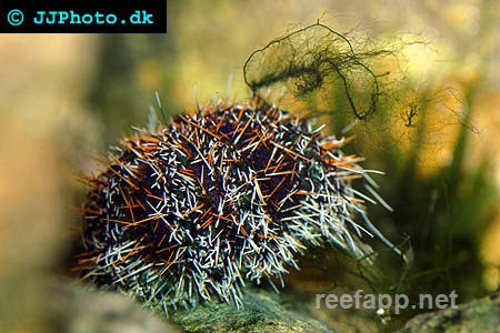 Sea urchins (Echinoidea)