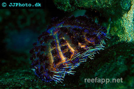 Fire urchin (Asthenosoma varium)