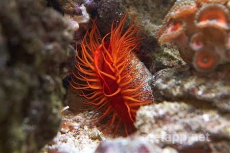Flame scallop (Ctenoides scaber)