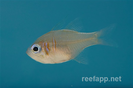 Threadfin cardinalfish (Zoramia leptacantha)