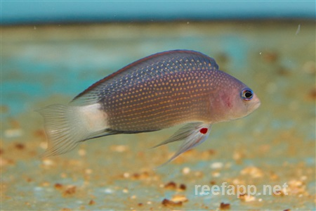 Sabah dottyback (Manonichthys alleni)