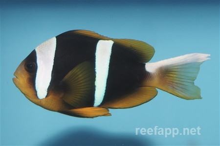 (Amphiprion clarkii)