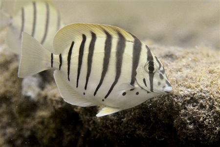 Black-barred surgeonfish (Acanthurus polyzona)