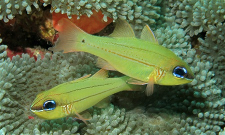 Seale's cardinalfish (Ostorhinchus sealei)