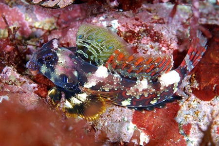 Scooter Blenny (Neosynchiropus ocellatus)