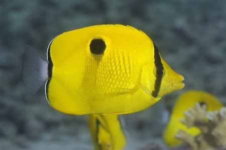 Yellow teardrop butterflyfish (Chaetodon interruptus)
