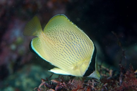 Speckled butterflyfish (Chaetodon citrinellus)