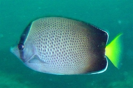 African butterflyfish (Chaetodon dolosus)