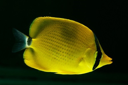 Dotted butterflyfish (Chaetodon semeion)