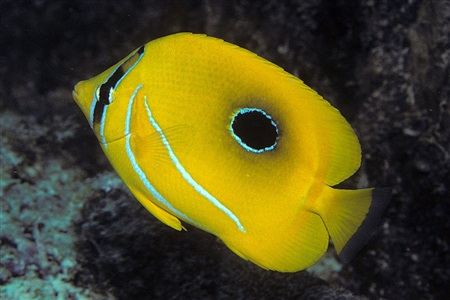 Bluelashed butterflyfish (Chaetodon bennetti)