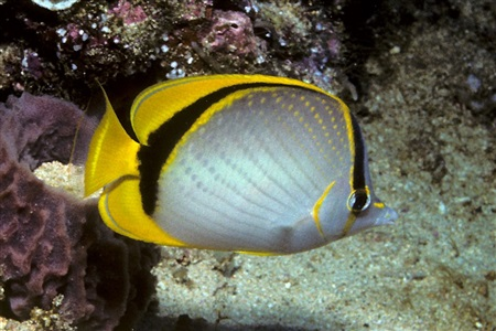 Yellow-dotted butterflyfish (Chaetodon selene)