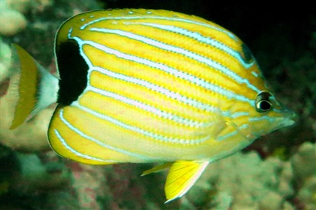 Bluestriped butterflyfish (Chaetodon fremblii)
