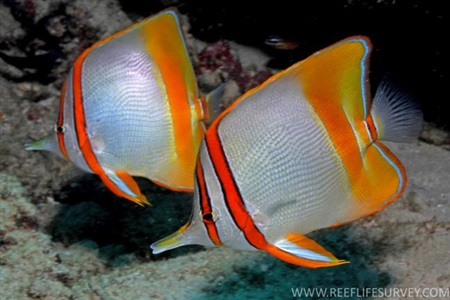 Margined coralfish (Chelmon marginalis)