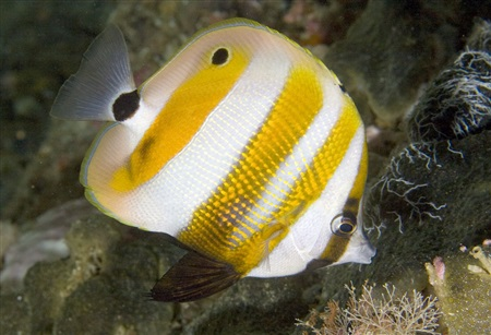 Goldengirdled coralfish (Coradion chrysozonus)